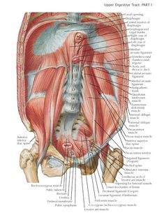 Posterior Wall of Abdominal Cavity The bodies of the five lumbar vertebrae, together with the related intervertebral discs, form a dis. Human Body Anatomy, Muscle Anatomy, Human Body Parts, Medical Science, Med School, Anatomy And Physiology, Medical Students, Cavities, Biology
