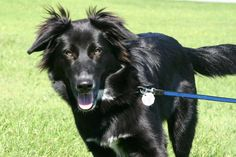 Black Golden Retriever German Shepherd Mix Dogs Dogs Australian