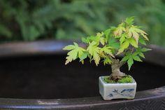 モミジの超ミニ盆栽|チョコレート盆々