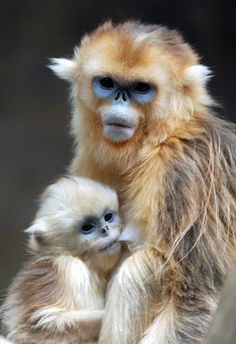 6 week old Golden Monkey with it's mother, in Korea - Photo: ''Attachment parenting'' by floridapfe, via Flickr