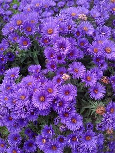 Asters - perennial, bloom in fall, plant seed in early to mid-spring