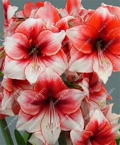 Amaryllis Seeds Hippeastrum Seeds (not amaryllis bulbs) Roof Terrace Garden Patio Garden Barbados Lily Flower Seeds Exotic Flowers, Amazing Flowers, My Flower, Flower Power, Beautiful Flowers, Amaryllis Bulbs, Amarillis, Bouquet, Bulb Flowers