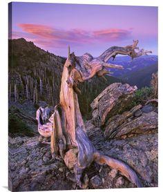 Rocky Mountains Bristlecone Pine Tree