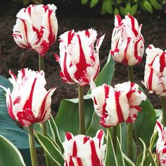 Snow Fire Tulip
