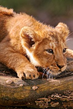 wolverxne: Cub looking down the log by:... - life