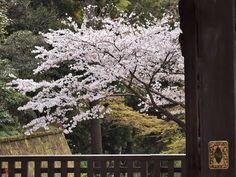 Sakura in Engaku-ji ~Kunihiko