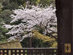 Sakura (Prunus × yedoensis) blossoms in Engaku-ji ~Kunihiko