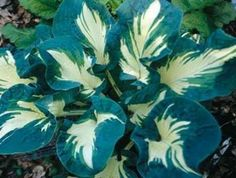 Hosta 'Andrew' | Hostas Directhttp://www.facebook.com/sharer/sharer.php?u=http://www.barackobama.com/news/entry/12-must-share-facts-about-President-Obamas-record