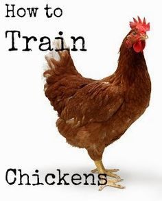 Proverbs Thirty One Woman website shares how to train chickens to be picked up, come when called, return to the chicken coop and stay out of the garden. If training your chickens lightens your homesteading chore work load…. Chickens And Roosters, Pet Chickens, Keeping Chickens, Raising Chickens, Backyard Farming, Chickens Backyard, Gallus Gallus Domesticus, Chicken Life, Chicken Houses