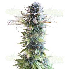 Early Skunk se reconoce por sus plantas femeninas de aspecto singular. Los arbustos son altos y densos se parecen a los arboles de cipreses. Su tronco principal se cubre de cogollos fuertes y de un follaje delicado. Su crecimiento activo y la producción de resina es típico para la Indica. Su resina contiene un alto porcentaje del THC. Sus rasgos de la Sativa se demuestran por su floración precipitada y su efecto característico. Es una cepa de una floración de las mas rápidas de la familia.