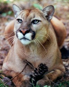 Why is the FWC Giving up on the Florida Panther? Big Cats, Cats And Kittens, Cute Cats, Siamese Cats, Beautiful Cats, Animals Beautiful, Beautiful Creatures, Pumas Animal, Animals And Pets