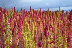 """""""Red and yellow quinoa growing in Isla de la Luna, Lake Titicaca, Bolivia"""""""