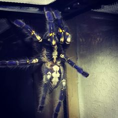 . Poecilotheria Metallica, Insects