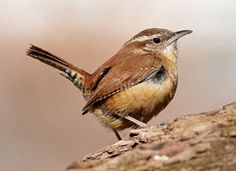 Carolina Wren. these little guys love to make some noise. Check out our store for handmade metal Wren's!