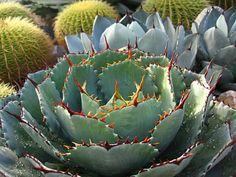 love this agave