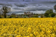 Yellow Rapeseed field with Ripon Cathedral in the background. https://stevengill.smugmug.com/Landscapes-and-Scenic-Views/