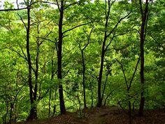 oak tree forests   oak tree forest 2 5