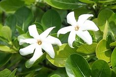 Tahitian Tiare Flowers (in honor of our engagement location)