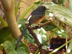 http://faaxaal.forumactif.com/t4681-photos-d-oiseaux-shama-a-croupion-blanc-copsychus-malabaricus