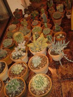 Mis plantas, pasando el invierno en mi comedor !!!
