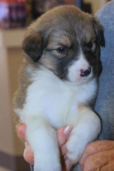Meet Fancy, a husky mix born on 11/09. She and her siblings will be large breed puppies. They are good with kids and dogs, but we don't know about cats.  They will be spayed/neutered prior to adoption. Adoption fee covers microchip, DAPP, Rabies, spay/neuter.  Adoption fees also allow us to continue saving animals. Please email candilynn2010@yahoo.com for more information or to schedule a playdate. If you are interested in adopting, please fill out an adoption application at…