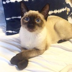 I may look sweet but I'm really a wild boy! Via: @marshall_the_meow #SiameseCat