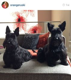 Scottie Mom: Scottish Terriers of Instagram: Week 2