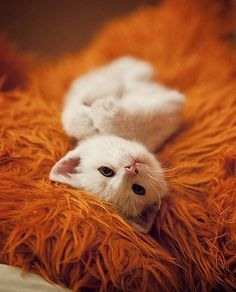 cute tiny white fuzzy kitten curls up into a ball