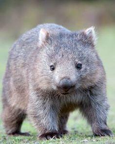 Tasmanian Wombat East coast natureworld bicheno <b>tasmania</b> <b>tasmanian</b> <b></b> Animals For Kids, Animals And Pets, Baby Animals, Cute Animals, Unusual Animals, Animals Beautiful, Cute Wombat, Les Reptiles, Australia Animals