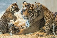 Tiger Pictures, Cute Animal Pictures, Big Cats, Cool Cats, Beautiful Cats, Animals Beautiful, Cute Baby Animals, Funny Animals, Wild Animals
