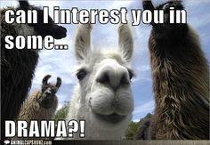 Llama llama with some drama