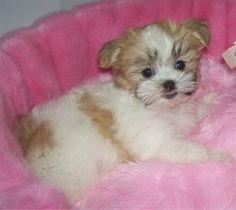 Bella, a Mal-Shi (Maltese / Shih-Tzu mix) at 13 weeks weighing 3 ½ pounds