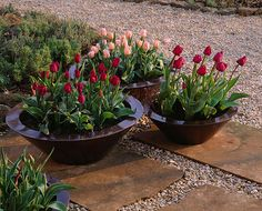 Bronze containers on patio in spring planted with tulip 'apricot beauty' and tulip 'negrita'