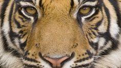 Wer dem Bengalischen Tiger in die Augen blicken will, muss sich auf Pirschfahrt begeben; etwa im Bandhavgarh-Park in Indien.