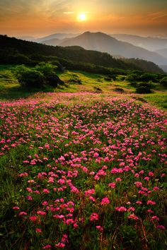 A field of Alpine flowers, Shirakawa, Japan