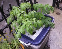 Tomatoes grown in a DIY EarthBox - self-watering system