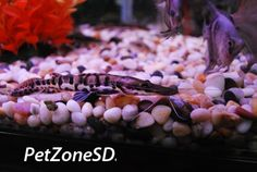 Catfish For Sale, Aquarium Catfish, Home Aquarium, Tiger