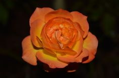 Peach Rose from my mother-in-laws Mother's Day gift.