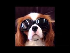 Major The Talking Dog - Doggles, Chicken Livers & Diana?
