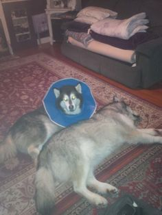Mya is looking quite royal in her collar cone! #Tripawd fashion