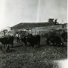 Ganadería de Teresa Berjano a principios del siglo XX en Villamiel