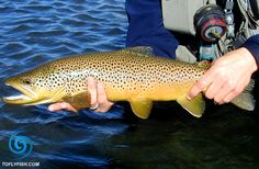 Nymph fly selection for river fly fishing for brown trout, rainbow trout, cutthroat trout, and brook trout. This article shows you how to make your nymph fly selection more focused. Fishing Photos, Fly Fishing Tips, Best Fishing, Salmon Fishing, Trout Fishing, Brown Trout, Fishing Techniques, Rainbow Trout, Freshwater Fish