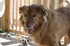 Merry!  Nashville, TN - Golden Retriever/Australian Shepherd Mix. Meet Merry a Dog for Adoption.
