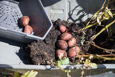Paul Potato: Kartoffelernte{Zeit} Plum, Fruit, Food, Ad Home, Essen, Meals, Yemek, Eten