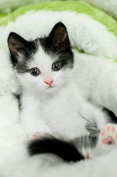 I love cats Quiero a los gatos Kittens And Puppies, Cute Cats And Kittens, Baby Cats, I Love Cats, Kittens Cutest, Ragdoll Kittens, Funny Kittens, Bengal Cats, Kittens Meowing