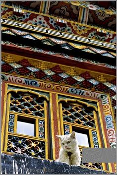 chaton blanc sur une fenêtre Jokhang Temple, Lassa, Tibete, China