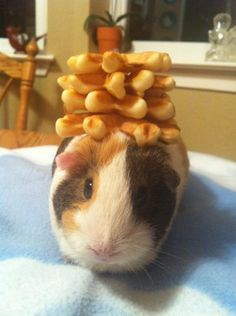 Lorraine the guinea pig with waffles on her head