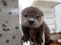 Baby otter.