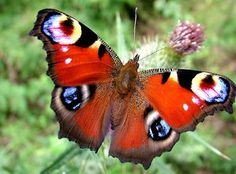 ~Peacock Butterfly~