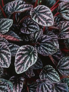Shade loving house plants. Luna Plant has Heart Shaped Leaves with Deep Veins